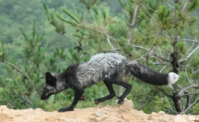"""近日,朱雀山生态旅游度假区内发现成群狐狸。据当地村民介绍,朱雀山有大量野生动物,但狐狸一般生活在深山,并不常见。此次发现的成群狐狸,推测是连日大雨灌入洞穴,它们成群结队出来躲避。   据了解,朱雀山四季分明,空气质量常年处于优级水平,冬无严寒,夏无酷暑,气候宜人;内部溪水潺潺,大旱之年亦不断流;植被类型丰富,林木丰茂,森林覆盖率90%以上。朱雀山生态旅游度假区以""""尊重自然、崇尚人文""""为开发建设原则,正确处理大自然和人类活动的关系,通过度假区建设,使区域环境得到更大的改善和保护,"""