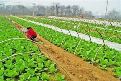 农技推广中心专家为菜农管理蔬菜支招