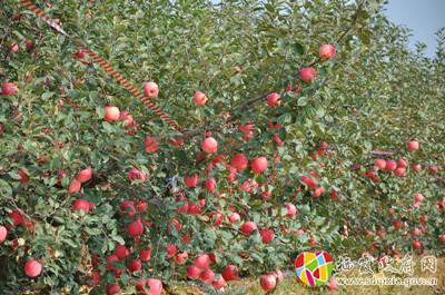 栖霞市政府 苹果文化 二十七次抚摸 栖霞苹果 成长记 十 走出闺房