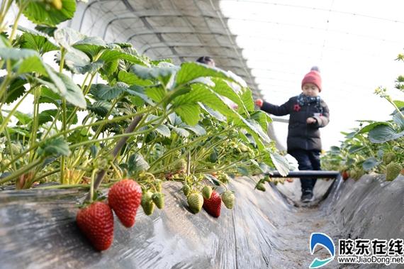 闻香草莓引来远方客